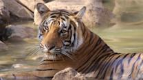 Tourism May Be Last Hope to Save India's Bengal Tiger