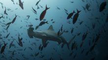 Barcos chinos se adentraron en las aguas de las Galápagos para pescar un cotizado tiburón: ¿qué ocurrió y qué pasará ahora?