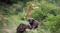 Flying Lion: Buffalo Launches Predator Into The Air