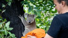 First koalas released back into the wild after Australian bushfires
