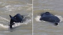 Humpback whales spotted in croc-infested waters in NT