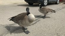 'They like Costco just as much as we do': Pair of resident geese return to Regina Costco parking lot