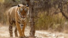 Desperate search for tiger that has killed eight people