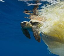 Turtles trapped in plastic forced to drag lethal cargo through seas until they die, study finds