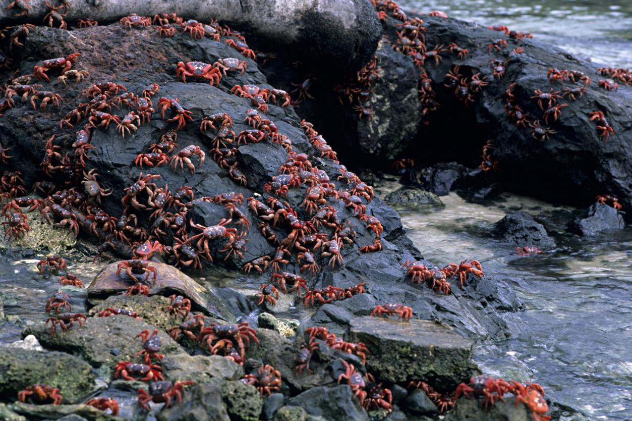 <p>Every year during the wet season (October to December), Christmas Island's adult red crabs begin their migration from the forest to the Indian Ocean where they breed and spawn. With tens of millions of red crabs living on the island it is possible to witness them pour out of the jungle and take over Christmas Island. The phenomenon lasts several weeks, forcing roads to close for the crabs to cross.</p>