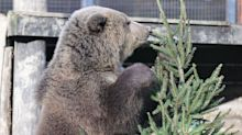 Bear cubs, Mish and Lucy, play Christmas games at wildlife park