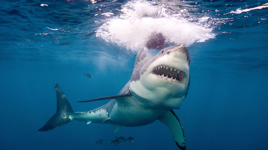 Video: increíble momento en que un tiburón blanco le roba la presa a un pescador