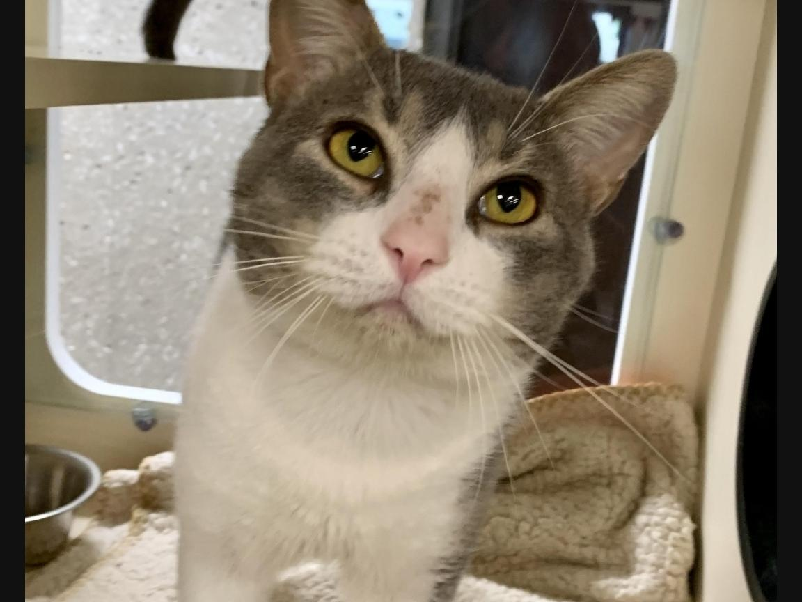 Lin-Manuel Purranda is available for adoption at the Hinsdale Humane Society.