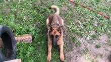 German Shepherd prefers water hose instead of treats