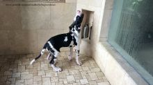 Great Dane puppy plays in the shower