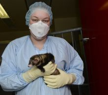 Monkeys, ferrets offer needed clues in COVID-19 vaccine race