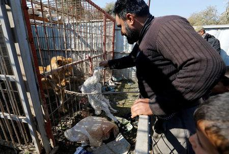 A volunteer feeds a lion at Nour Park in Mosul's zoo, Iraq, February 2, 2017. REUTERS/Muhammad Hamed