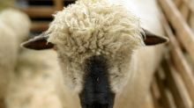 Scottish farmer fined for punching sheep