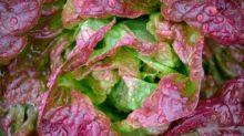 How to sow winter lettuces