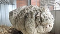 Champion Shearer Removes Record-Breaking Fleece