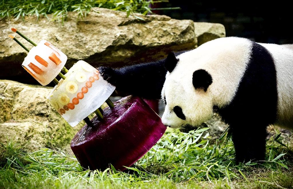 Giant panda Xing Ya celebrated his fourth birthday with an ice cake in Ouwehands Dierenpark zoo. Xing Ya and Wu Wen are on loan from China and will stay in the Dutch Zoo for the next 15 years (AFP Photo/Remko DE WAAL)