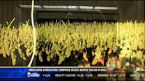 Marijuana eradication campaign seizes nearly 100,000 plants