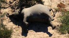 Botswana: resuelven el enigma detrás de la muerte de más de 300 elefantes