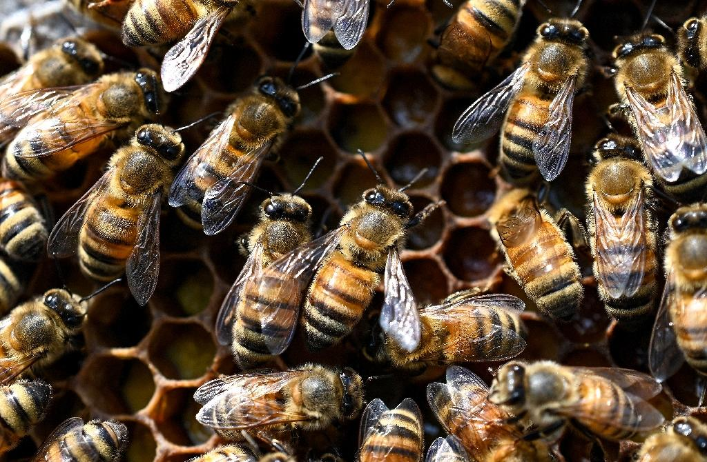 Worker bees processing honey in a honeycomb frame -- honey producers across the United States have helplessly watched over the years as China blew them out of the market (AFP Photo/Prakash SINGH)