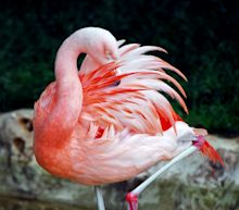 Here's how flamingos balance on one skinny leg