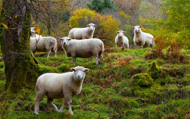 Sheep in Ireland - Getty Images Contributor