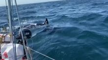 Sailors Request Tow After Orca Damages Boat Near Coast of Spain