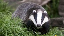 Men jailed for filming dogs mauling badgers to death