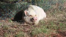 Pot-Bellied Pig Adopted From B.C. SPCA Killed For Food Weeks Later