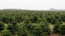 Weihnachtsbäume könnten wegen Corona teurer werden