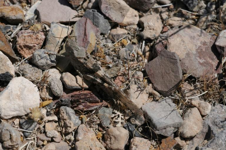 Swarm of grasshoppers descends on southern Nevada