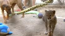 A cheetah cub and a puppy make friends