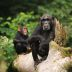 Hairy Liaisons: Ancient Chimps and Bonobos Hooked Up
