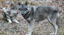 Bundesregierung einigt sich beim umstrittenen Thema Wolfsjagd