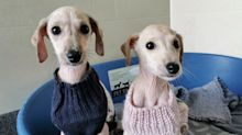 Balding puppies 'dumped like rubbish' on roadside weeks before Christmas need jumpers to keep warm