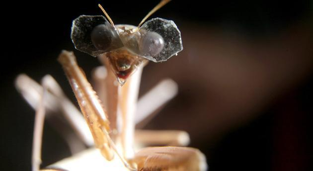 Praying mantises get extra-tiny 3D glasses to test their vision