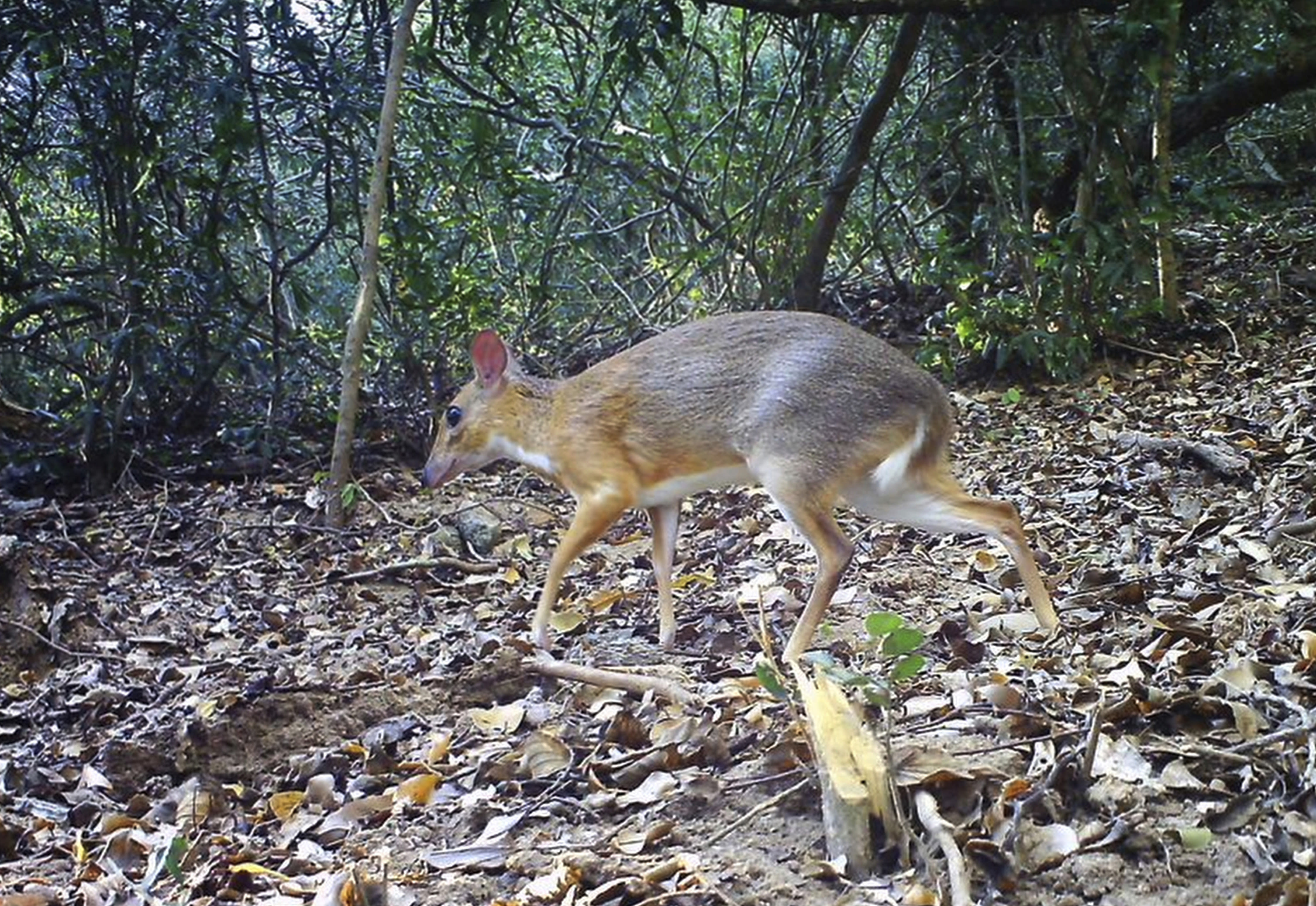 Rare Mouse Deer spotted in Vietnam after vanishing for near 30 years