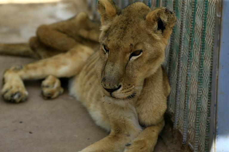 A malnourished lioness at Al-Qureshi park in the Sudanese capital Khartoum, where one of five sick lions died on Monday