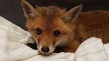 Starving fox cub found under a sofa after spending days inside a family home