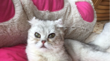 This Scottish fold kitten got dumped for the saddest reason
