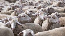 150 Schafe von Weide verschwunden