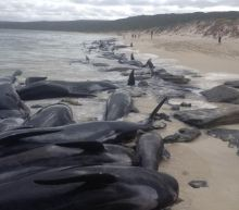More than 150 whales strand themselves on Western Australian beach