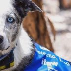 Hero dog uses his nose to find koalas affected by Australia bushfires