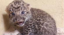 Naissance exceptionnelle de deux bébés panthères de Chine au zoo de Thoiry