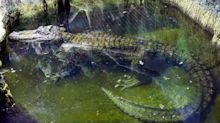'Hitler's Alligator' Dies In Moscow Zoo At The Age Of 84