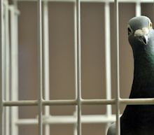 India detains pigeon on suspicion of spying for Pakistan