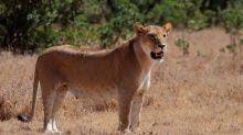 Lion shot dead after escaping from enclosure at Belgian zoo
