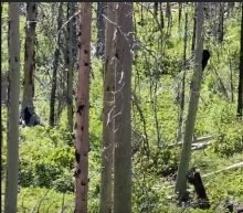 Watch what happens when a hungry black bear and grizzly meet in Glacier National Park