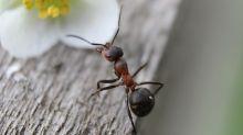 """Un fósil revela el comportamiento de las """"hormigas del infierno"""""""