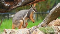 Abandoned Tree Kangaroo Finds Mom in Surrogate Wallaby