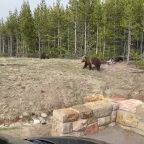 Woman Cited After Video Shows Bear Charging Toward Her at Yellowstone National Park